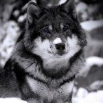 Цитаты про волков