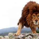 Цитаты про львов